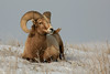 Big Horned Sheep - South Dakota (Adam Grim) Tags: southdakota sd ram badlandsnationalpark bighornedsheep adamgrim
