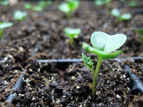 first true leaf
