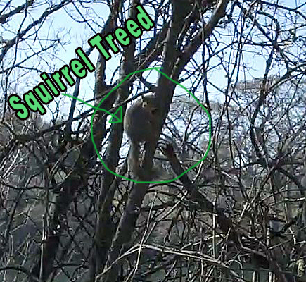 Squirrel-Treed