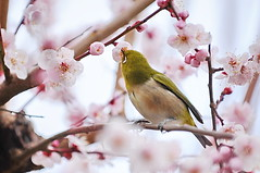 Collaboration between Japanese Ume and White-eye (naruo0720) Tags: plant flower macro bird nature closeup nikon bokeh ume japanesewhiteeye d300  supershot specanimal anawesomeshot theunforgettablepictures