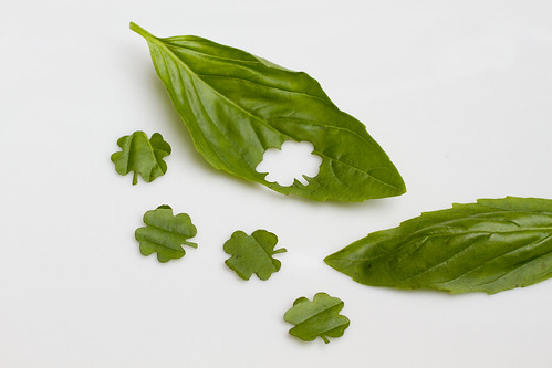 cutting basil into 4 leaf clovers 4