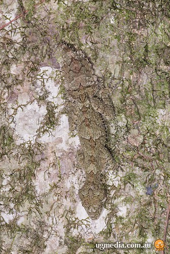 Southern leaf-tailed gecko (Saltuarius swaini)