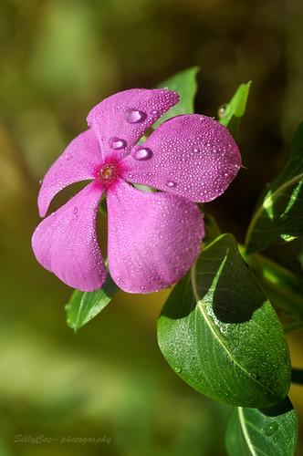 Catharanthus roseus-0m