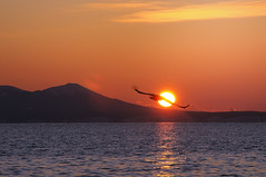 Sunrise with Steller's Sea Eagle (p.fabian) Tags: japan sunrise licht meer wasser eagle adler  sonnenaufgang avian tier vogel gegenlicht flug aigle guila stellersseaeagle   pigargogigante     pygargueempreur