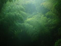 Foggy Bamboo (Bracus Triticum) Tags: tree japan march spring foggy bamboo 日本 fukuoka yayoi kyushu 2010 九州 iizuka 三月 3月 飯塚市 福岡県 弥生 sangatsu 筑豊 chikuhō 平成22年 さんがつ newlifemonth baturs