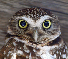 Owl (jhhwild) Tags: owl