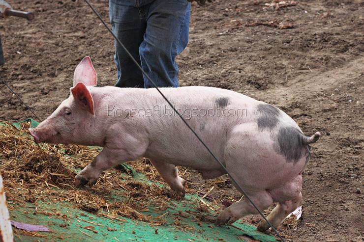 Pig hernia (by KansasA)
