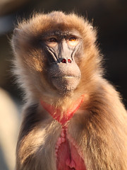 Gelada Baboon / Dschelada (Theropithecus gelada) (Sexecutioner) Tags: portrait nature animal animals digital canon germany deutschland zoo monkey tiere stuttgart wildlife natur monkeys baboon ethiopia tier 2010 affen eritrea affe wilhelma gelada thiopien potofgold badenwrttemberg geladababoon dschelada zoostuttgart stuttgarterzoo geladababoons theropithecusgelada dscheladas theropithecus blutbrustpavian copyrightsexecutioner papionini geladabaviaan