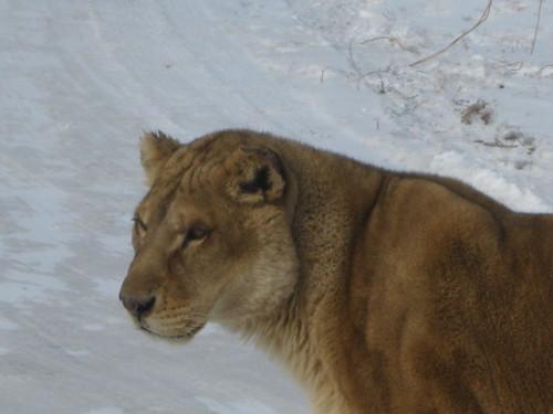 liger thesis statement