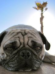 At the Beach (owl.howl.scowl) Tags: california dog sun beach closeup oscar pug sunny palmtree huntingtonbeach