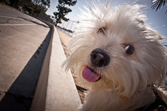 some times he just doesn't look real (A.C.Thamer) Tags: family boy dog cute face goofy canon puppy crazy friend funny sweet milo human luck lucky doggy babyboy lhasaapso lhasoapso thamerphotography acthamer alexthamer