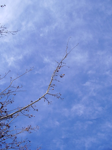 Poplar branch in the blue