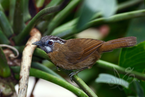 Grey-throated Babbler | Rimba Leher Kelabu