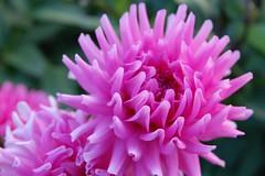 Dalia (roberto.valente) Tags: flower up close dalia masterphotos wonderfulworldofflowers