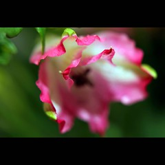 Best wishes (JannaPham) Tags: life birthday morning pink flower macro green dedication canon garden happy eos golden spring pretty friendship bokeh happiness 5d markii itala itala2007 jannapham