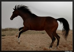 Horse Power (Sammy Naas) Tags: power libya hourse galope