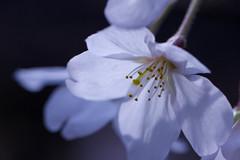 Cherry Blossoms '10 #3 (Onihide) Tags: flower macro japan cherry spring kyoto blossom kiyamachi onihide