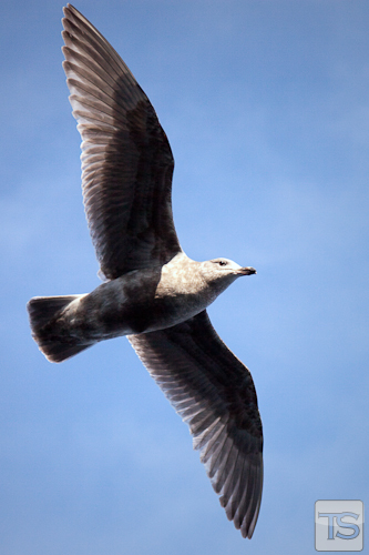 Soaring Of The Gull