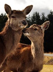 #5 (ebabe50) Tags: landscape scotland scenery stag wildlife deer