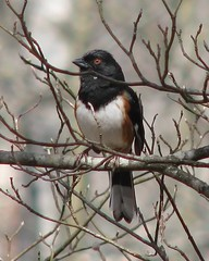 Eastern Towhee, male (Vicki's Nature) Tags: brown white black male yard canon georgia s5 towhee easterntowhee vickisnature beautifulworldchallenges thewonderfulworldofbirds twomedals gameonemedal faves19