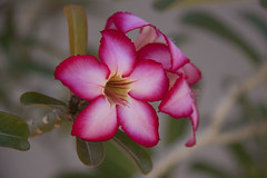 Seasons In The Sun (Mona Hura) Tags: favorite sun rose mexico seasons desert plumeria cabosanlucas sanjosedelcabo 8700 desertrose cactimundo