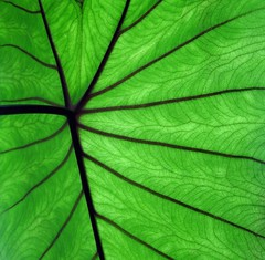 Pathways of Life (Mary Faith.) Tags: plant macro green art nature lines electric river garden design leaf stream pattern branches transport indoor hobby collection opaque artery rays veins backlit ornamental biology cells radiating capillaries nerves alocasia potplant chlorophil blinkagain blinkagainfrontpage