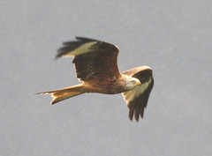 Red Kite / Milan royal / Nibbio reale (gimar52) Tags: birdwatching birdwatcher redkite milvusmilvus milanroyal naturewatcher nibbioreale