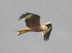 Red Kite / Milan royal / Nibbio reale (gimar52) Tags: birdwatching birdwatcher redkite milvusmilvus milanroyal naturewatcher nibbioreale