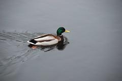 Duck (Duh)