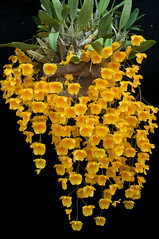 Dendrobium lindleyi (Eric Hunt.) Tags: sanfrancisco california orchid flower yellow orchidaceae dendrobium dendrobiumlindleyi