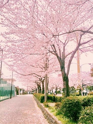 等々力アリーナ。寒い中桜がきれい。