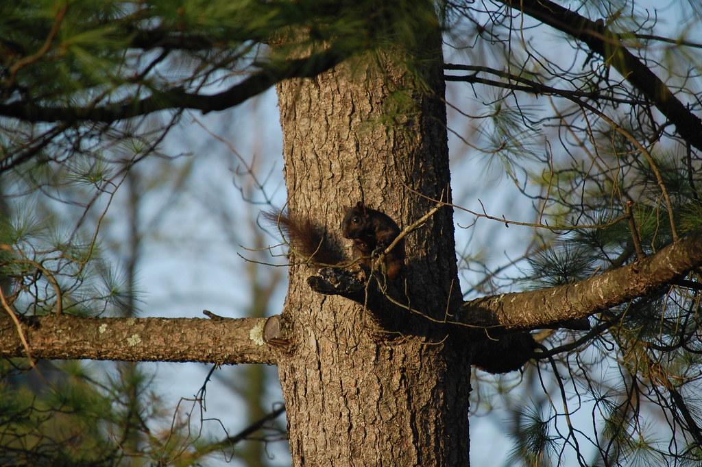 Black squirrel of Princeton