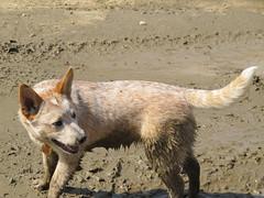 Daisy puppy (jnoc) Tags: dog dogs montague montagueplains