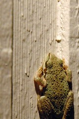 Will Hop for Food (John 3000) Tags: nature animals wildlife frog animales rana visitor