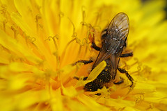 More miner bee activity on dandelion #2 (Lord V) Tags: macro bug insect bee minerbee