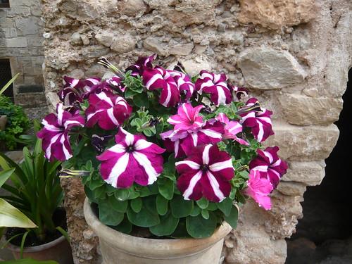 Pot of Petunia