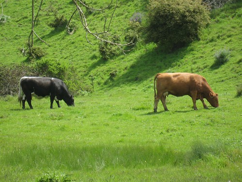 2010-03-28_wildcat_canyon_cows.jpg