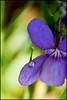Violet (lizzieerwood) Tags: flower macro violet dewdrop canon400d ef100mmmacrof28