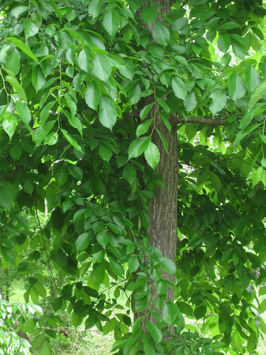Another slippery elm tree.