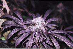 Purple wayzzzzz (Cyber shot you.) Tags: cannabisindica