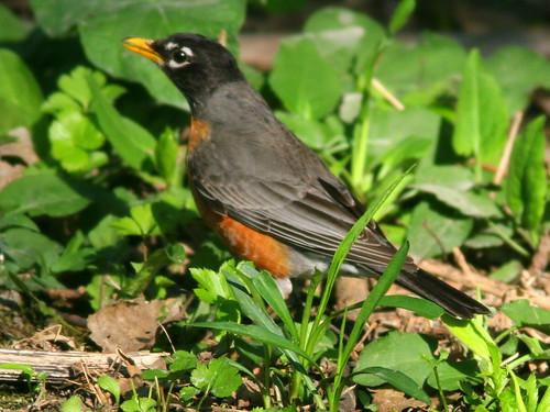 American Robin 20100415