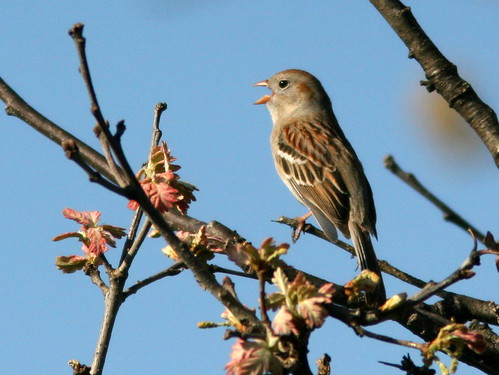 Field Sparrow singing 20100415