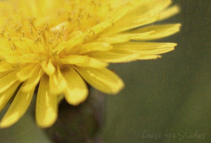 04-15-dandelions3