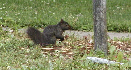 squirrel07-10-09blackbackyardx