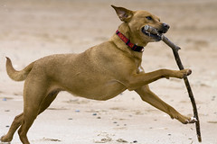 Sheba (diskojez) Tags: sea dog beach dogs coast north east northeast sluice seaton seatonsluice