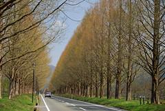(katsuzin13) Tags: geotagged  metasequoia shiga makino takashima dawnredwood      geo:lat=35474022 geo:lon=136036277
