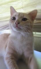 Jo-ee (Debi's kids (Here very little)) Tags: orange cat canon kitten kitty buff joee kissablekat