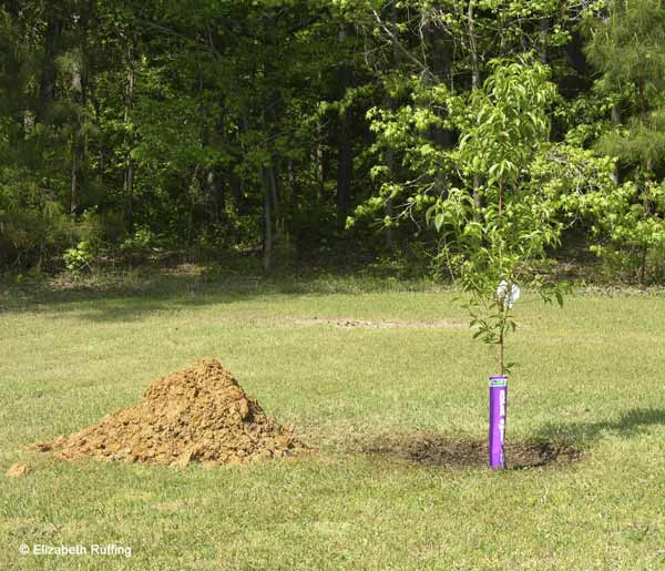 newly planted peach tree