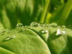 Morning Dew (~Abby) Tags: morning plants green water garden botanical droplets drops spring university shine state michiganstateuniversity michigan sony dew vegetation drips shining wj beal wjbealbotanicalgarden sonyh50