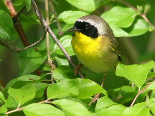 Common Yellowthroat 2-20100427